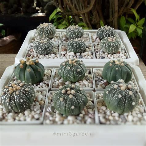 #astrophytum #asterias #nudum #แอสโตร | แอสโตร, สวน, กุหลาบ