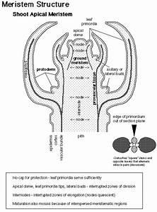 Meristematic cell diagram