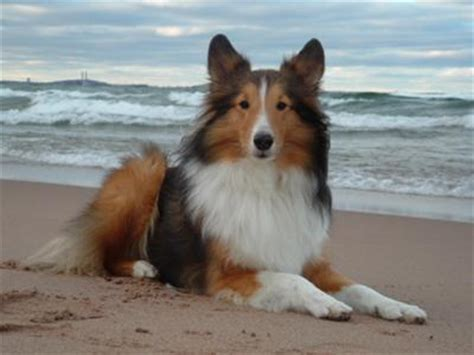 cute dogs shetland sheep dog