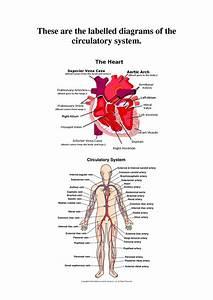 Free Diagrams Human Body