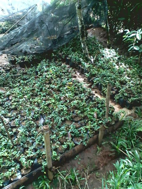 jenis jenis tanaman hias merambat habiban taman