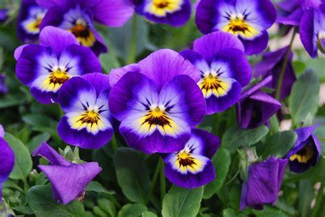 Small Kitchen Reno Ideas - how to grow violas in a home garden