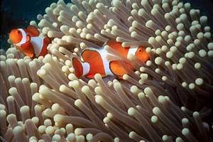 Clownfish Ten Random Facts