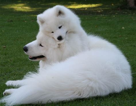 samoyedpictures  dogs    dog