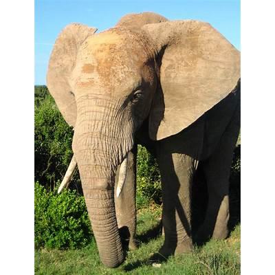 File:African Elephant.jpg - Wikipedia