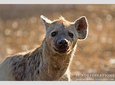 Hyenas feed on fallen giant, Shoshangane