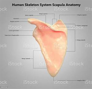 34 Label The Parts Of The Scapula In The Following