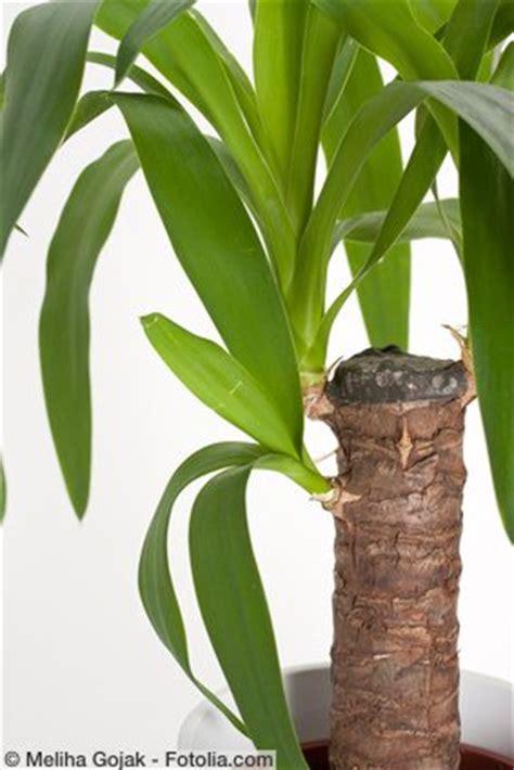 yucca palme ableger yucca palme zimmerpflanze pflegen d 252 ngen schneiden
