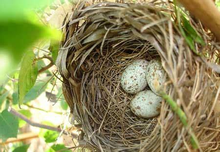 cardinal bird diet habitat facts sciencefun