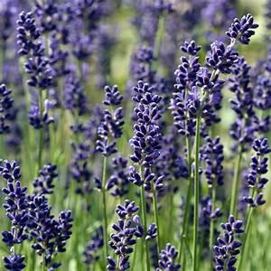 Plant De Lavande : lavande vraie 39 hidcote blue 39 lavande officinale le lot ~ Nature-et-papiers.com Idées de Décoration