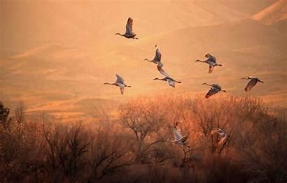 Crane Cranes Birds Flight Trees Wallpapers Animal