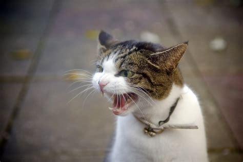 aggression  cats cattime