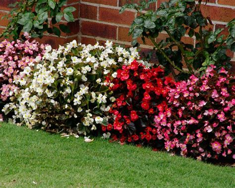 great border plants gardensonline begonia semperflorens