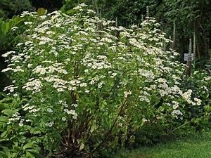Busch Mit Gelben Blüten : stauden die staude staudenpflanzen ~ Frokenaadalensverden.com Haus und Dekorationen