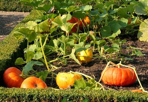 conservation des citrouilles et potirons potiron planter et tailler ooreka