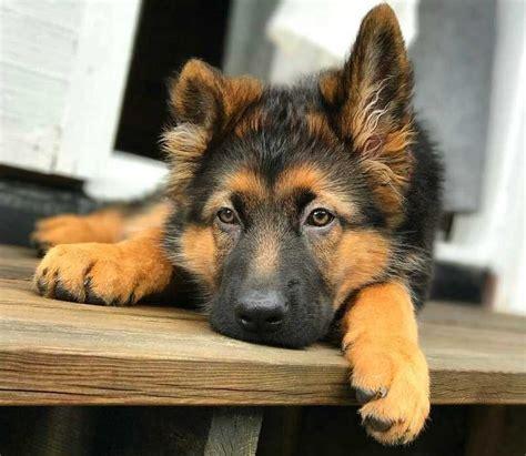 Feeding a German Shepherd Puppy. When a pet as endearing ...