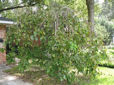 mulberry tree planting online plant guide morus alba chaparral chaparral