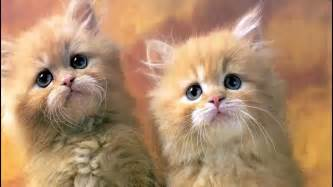 cats meowing sounds cat pictures and cat sounds cats meow