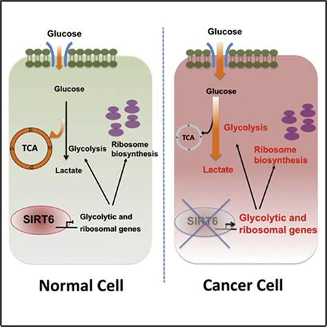 histone deacetylase sirt   tumor suppressor