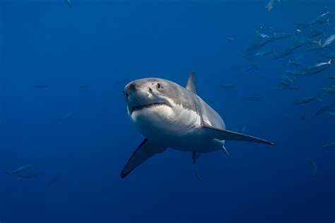 great white shark swimming  george  probst