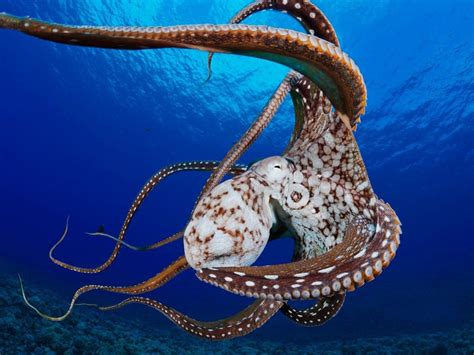 Octopus Hd Wallpapers Octopus Men Live Only A Few Months After Mating Female Octopuses Die