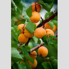 Top 10 Easy To Grow Fruit Trees  Top Inspired