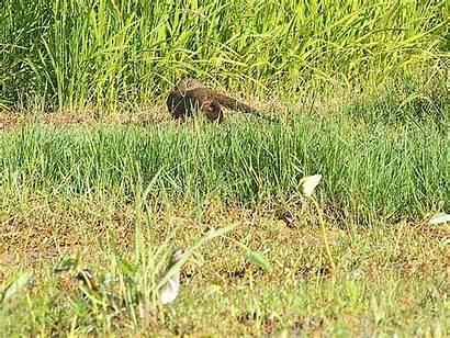 Mongoose Wildlife Okinawa Animations Closely Birds Animation