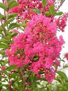 Taille Du Lilas Des Indes : lilas des indes 39 red imperator 39 lagerstroemia indica ~ Nature-et-papiers.com Idées de Décoration