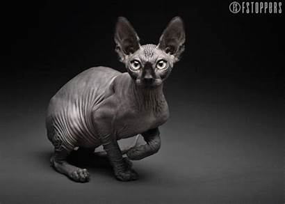 Cat Gifs Cats Mesmerizing Retouched Hairless Animated