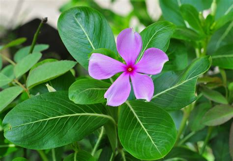vinca flower catharanthus roseus wikipedia