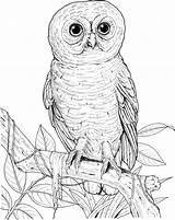 Owl Coloring Eyed Printable Realistic Burrowing Drawing Barn Owls Animals Hoot Spotted Sheets Printables Designlooter Getdrawings Activity Categories Silhouettes sketch template