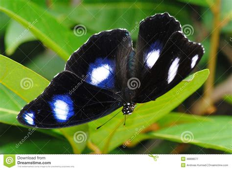 Black Spotted Butterfly Stock Photo