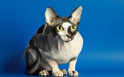Sphynx Cat Background Animal Sphinx Nuwallpaperhd Desktop
