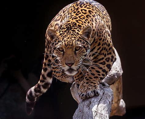 Jaguar Pics by Jaguar San Diego Zoo