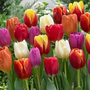 Van Zyverden Tulips Bulbs Triumph Mixture (Set of 100