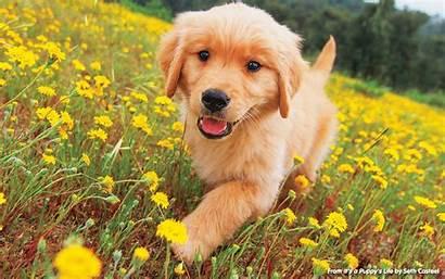 Puppy National Puppies Celebrate Golden Adorable Retriever