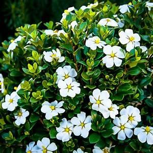 Gardenia Jasminoides Pflege : scentamazing gardenias for sale online the tree center ~ A.2002-acura-tl-radio.info Haus und Dekorationen