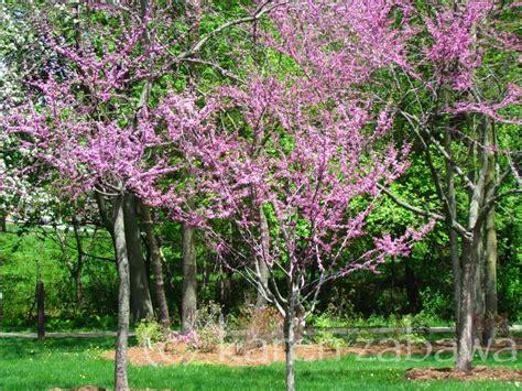 japanese redbud tree photos brueckner rhododendron gardens japanese cherries apple trees redbuds rhodos azaleas in