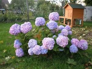 Hortensie Endless Summer Standort : ballhortensie endless summer 39 the original 39 blau ~ Lizthompson.info Haus und Dekorationen