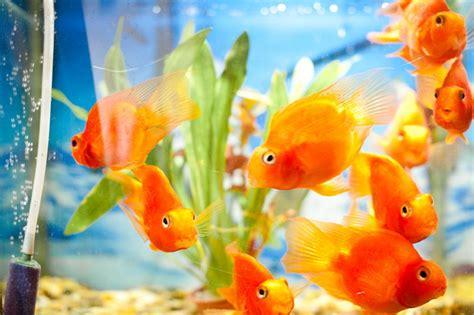 elever des poissons rouges bocal entretien