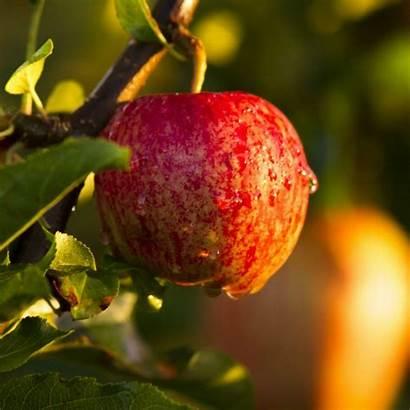 Apples Gala Season Farm Pick Week Apple