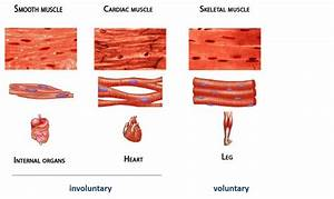 Skeletal Muscle Tissue Diagram