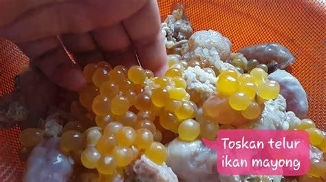 telur ikan mayong masak asam pedas youtube