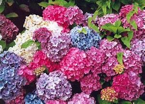 Blumen Für Schattige Plätze : hortensien sind gen gsame pflanzen die relativ leicht zu ~ Michelbontemps.com Haus und Dekorationen