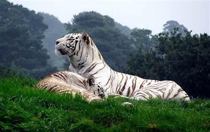 Tiger Siberian Pc Wallpapertag