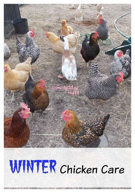 Caring For Chickens In Backyard by Caring For Your Chickens In The Winter Homestead
