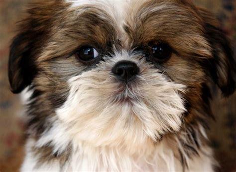 Brown And White Shih Tzu Puppy  Wwwpixsharkcom Images