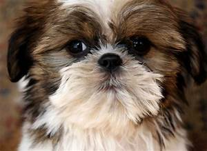 Shih Tzu Puppies Brown And White Photo - Happy Dog Heaven