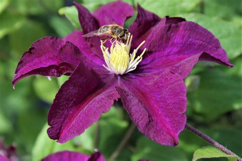 Clematis Große Blüten by Clematis Waldrebe Warszawska Nike Lubera De
