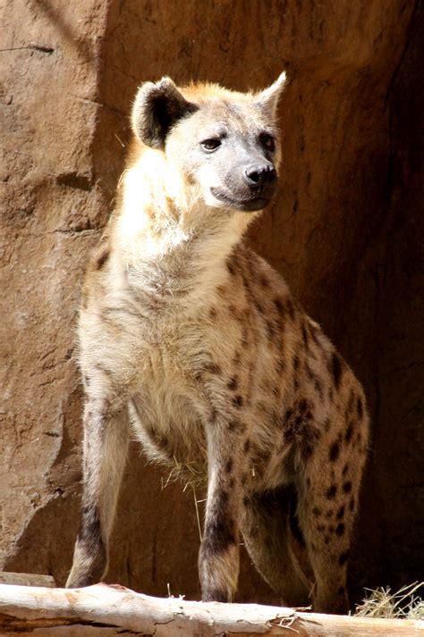 hyenas wikiquote